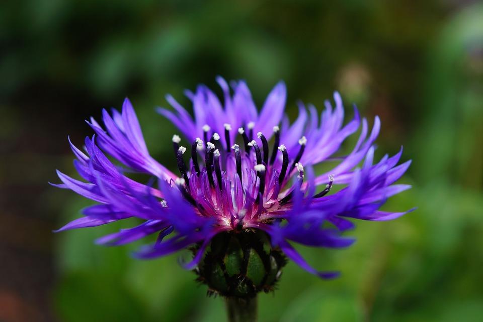 Beauty Benefits Of Cornflower